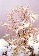 Snow on Fagus